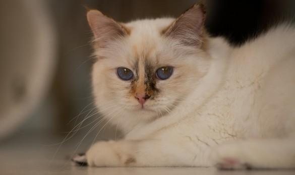 Birma wiesbaden Katzen